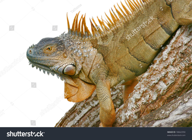 Green Iguana, latin name -  iguana iguana