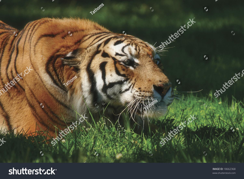 stock-photo-crouching-tiger-18662368.jpg