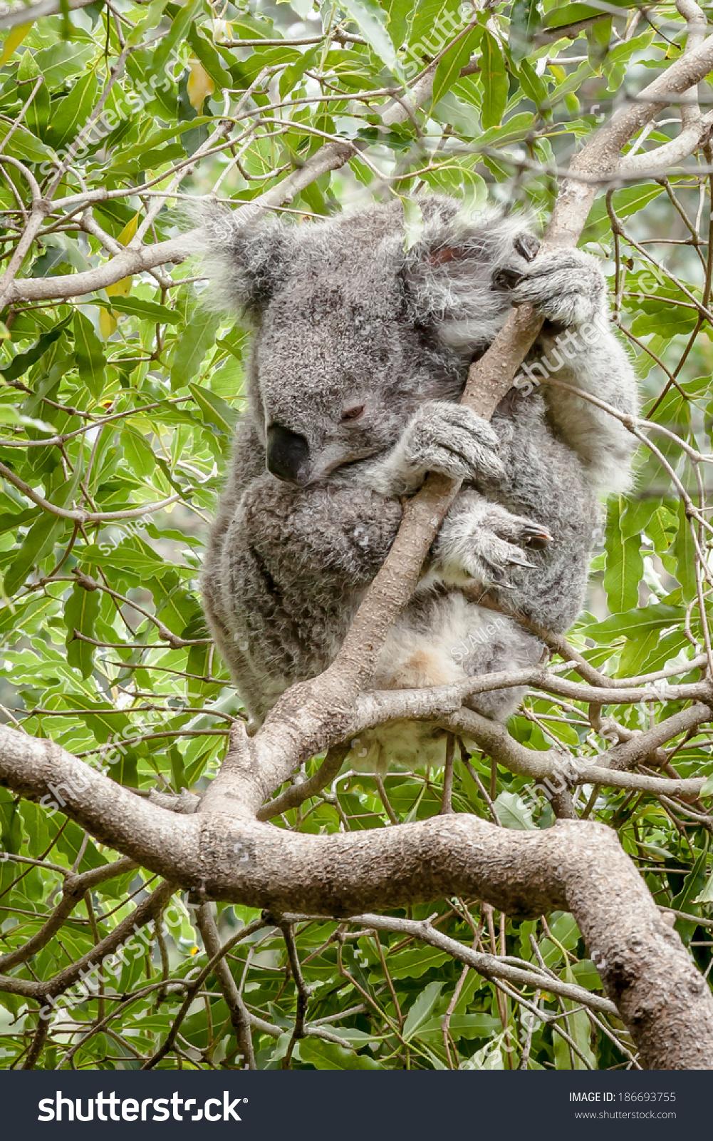 Australian Koala Phascolarctos Cinereus Wet Rain Stock Photo Edit Now 186693755