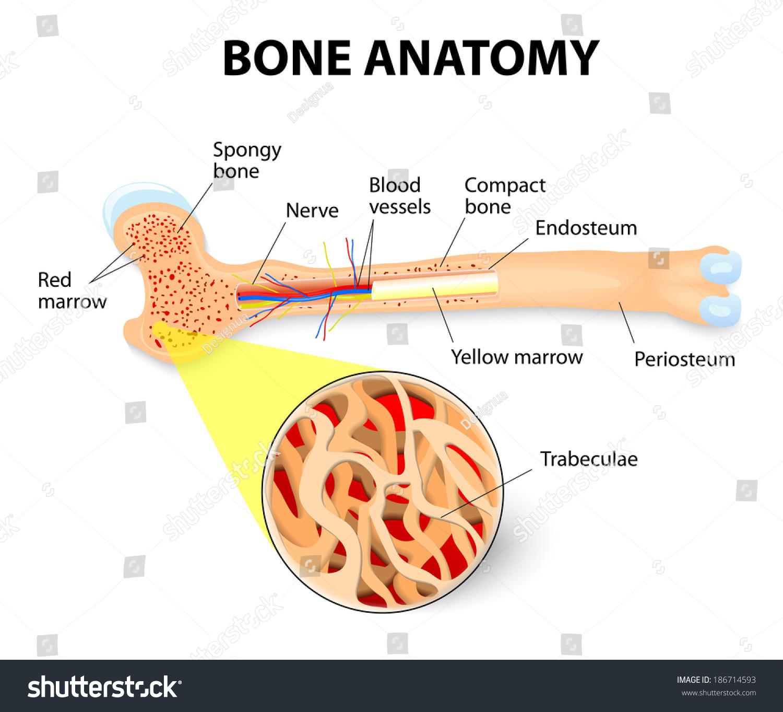 Anatomy Long Bone Periosteum Endosteum Bone Stock Illustration