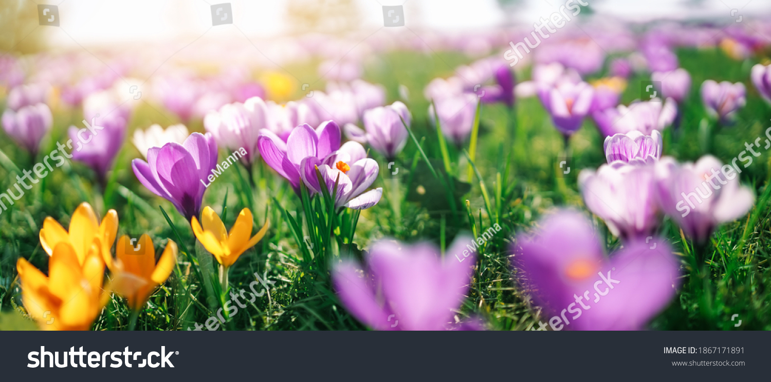 Closeup view of the spring flowers in the park. Crocus blossom on beautiful morning with sunlight in the forest in april #1867171891
