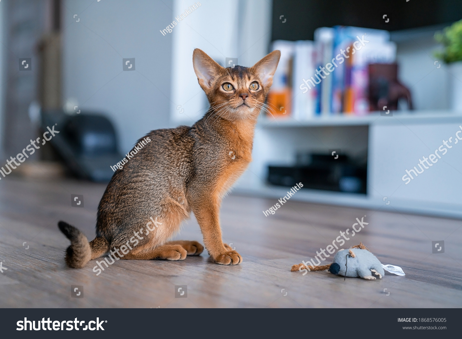 Abyssinian cat at home with her owner at home. Beautiful purebred short haired kitten. #1868576005