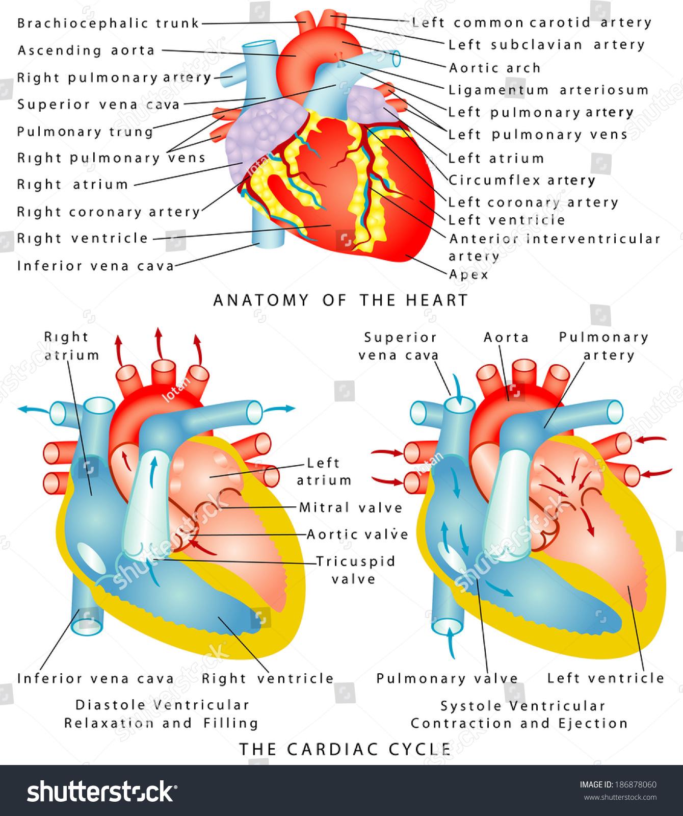 Heart Anatomy Heart Cardiac Cycle Diastole Stock Vector Hd Royalty