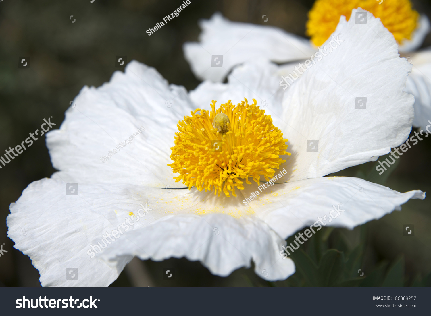 Matilija Poppies Close Large White Flowers Stock Photo Edit Now