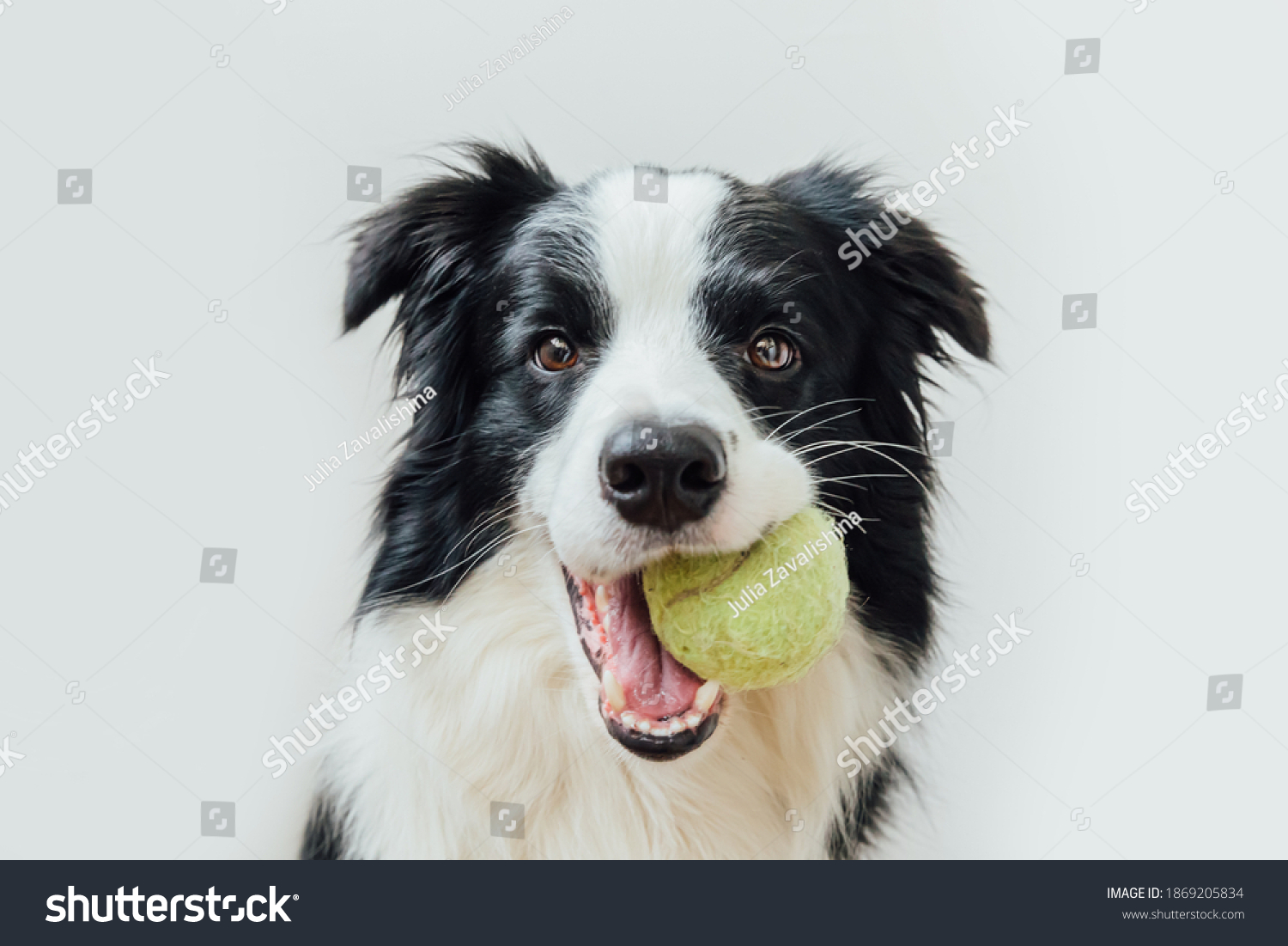 Funny portrait of cute puppy dog border collie holding toy ball in mouth isolated on white background. Purebred pet dog with tennis ball wants to playing with owner. Pet activity and animals concept #1869205834