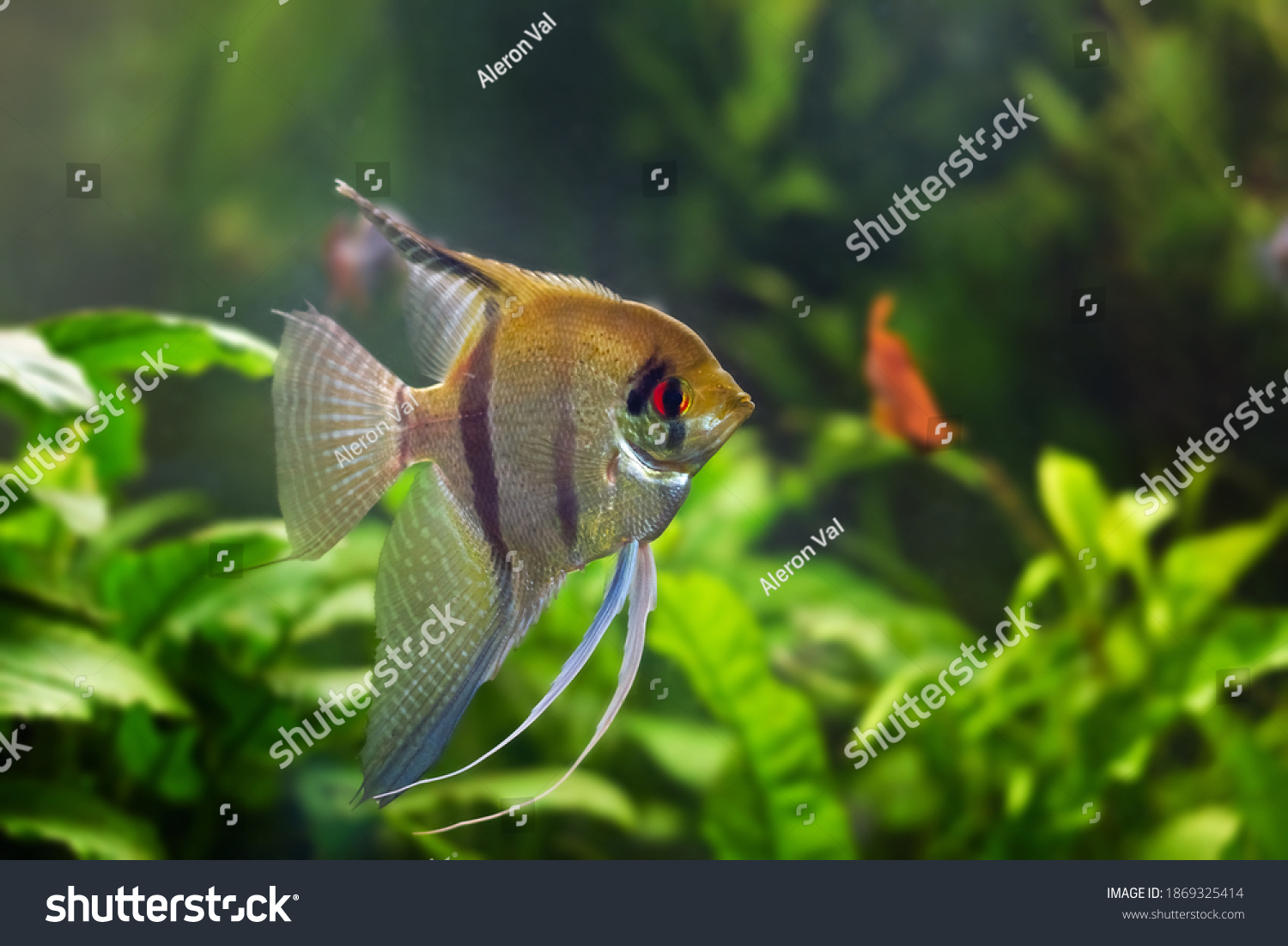 juvenile angelfish, artificial aqua trade breed of wild Pterophyllum scalare cichlid in beautiful coloration with orange eyes, popular ornamental fish from South America blackwater #1869325414