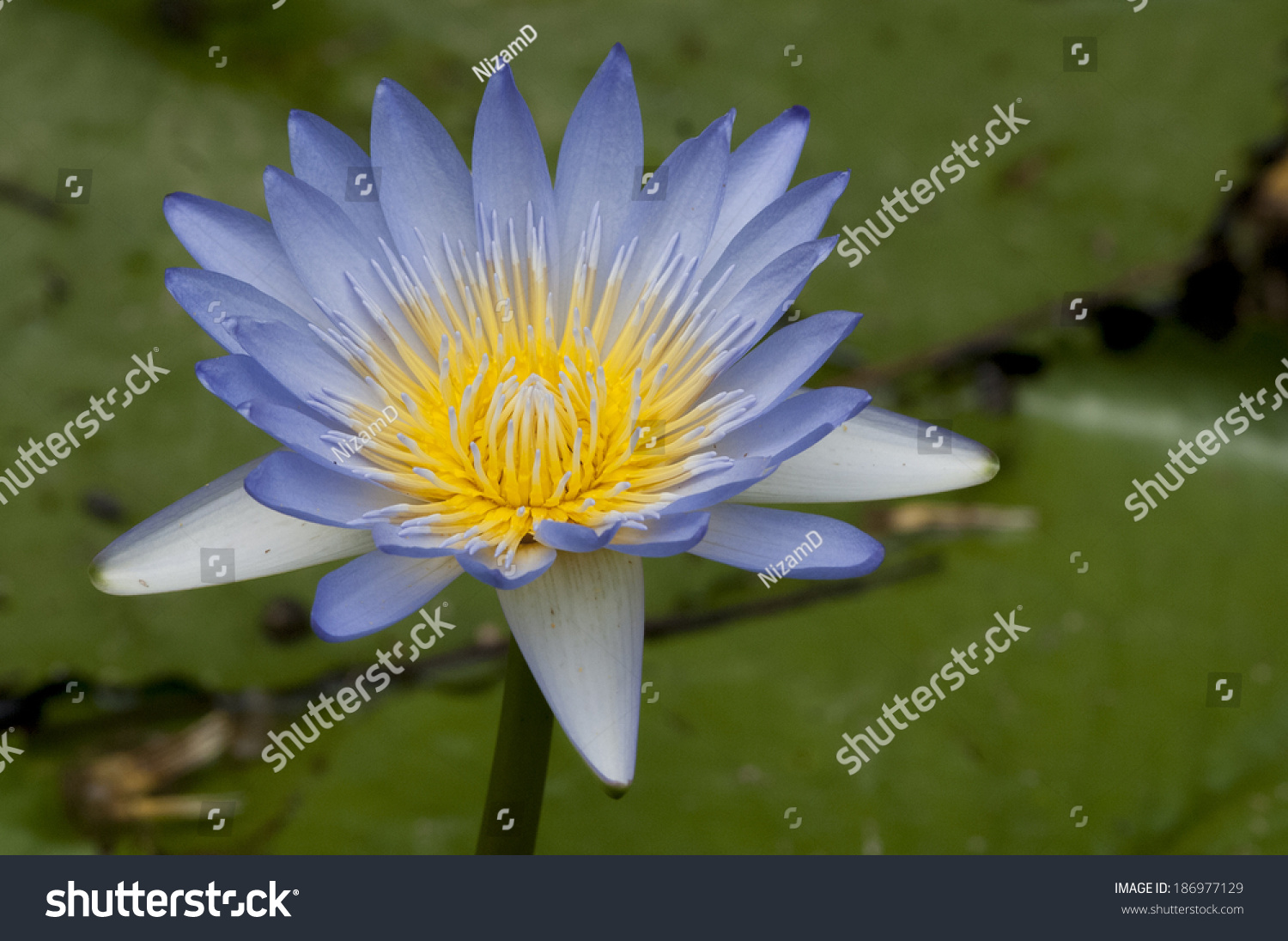 Close blooming blue water lily flower stock photo edit now close up of blooming blue water lily flower botanical name nymphaea spp izmirmasajfo