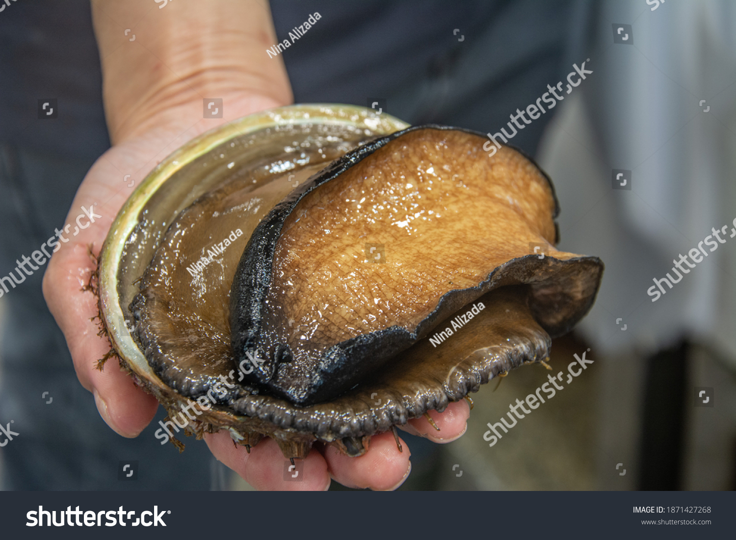 The black lip abalone, Haliotis rubra, an Australian specie of large, edible sea snail, a marine gastropod mollusk in the family Haliotidae, the abalone #1871427268