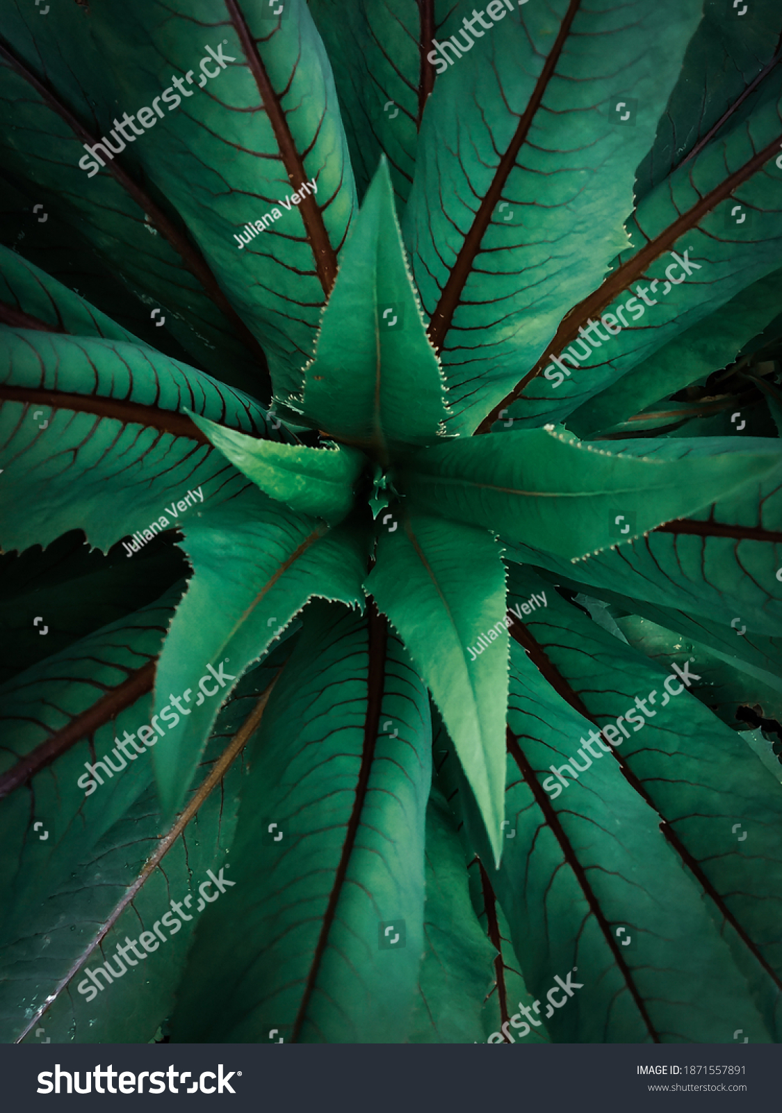 stock-photo-chicory-leaves-representing-