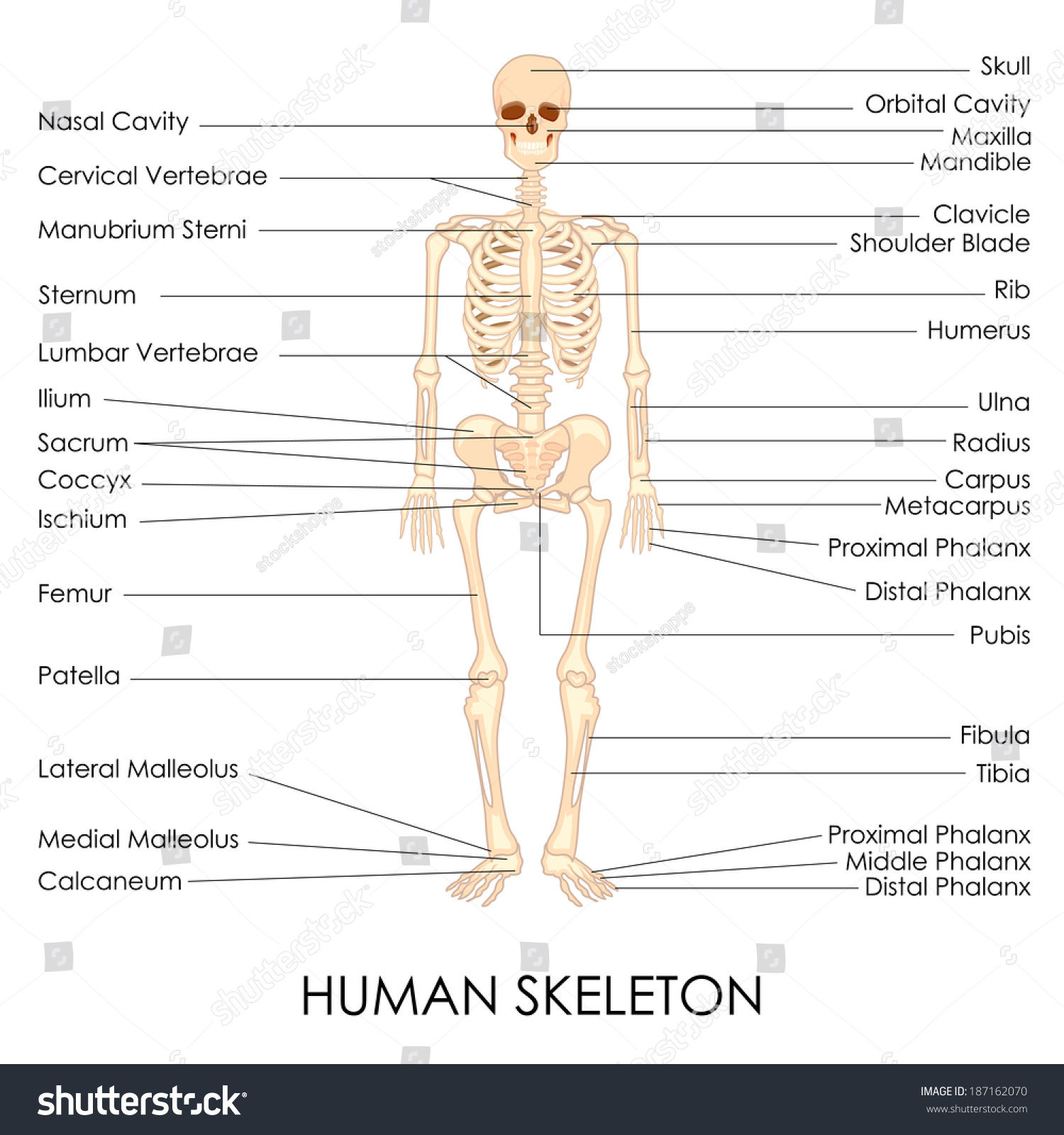 Vector Illustration Diagram Human Skelton Stock Vector (2018 ...