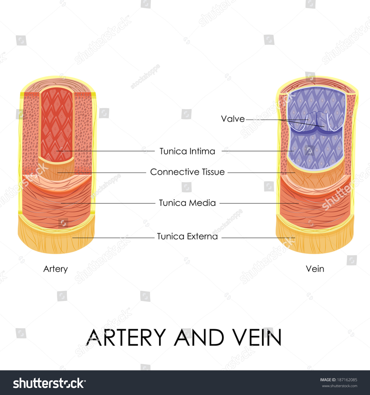 Vector Illustration Diagram Artery Vein Stock Vector 187162085 ...