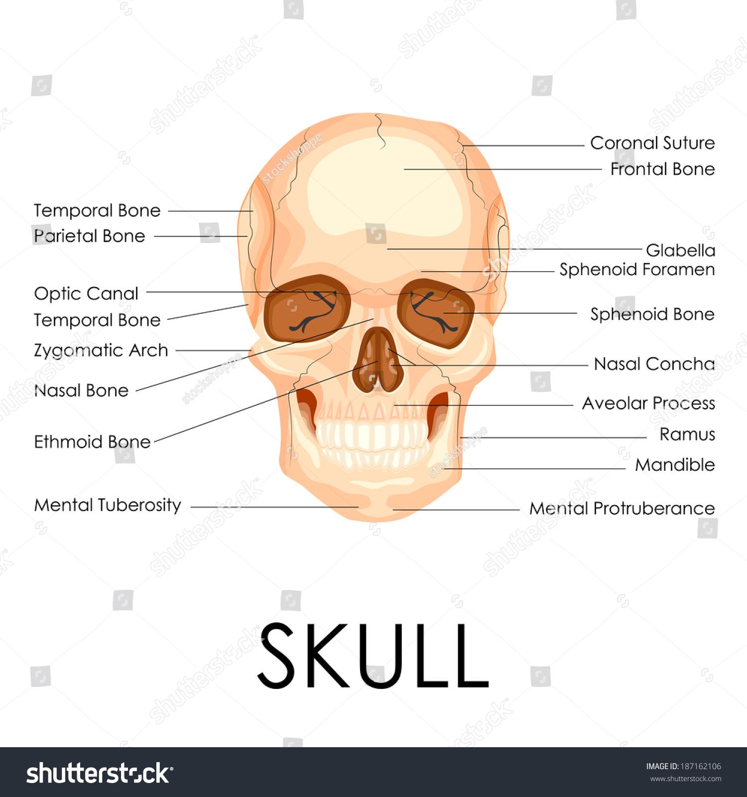 Vector Illustration Diagram Human Skull Stock Vector 187162106 ...