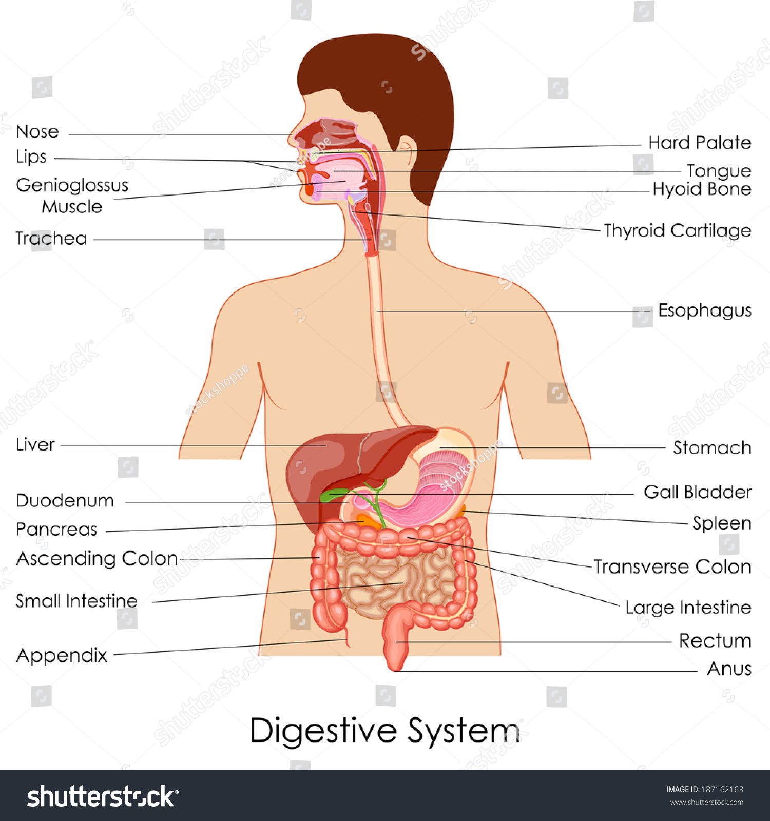 Vector Illustration Diagram Digestive System Stock Vector Royalty