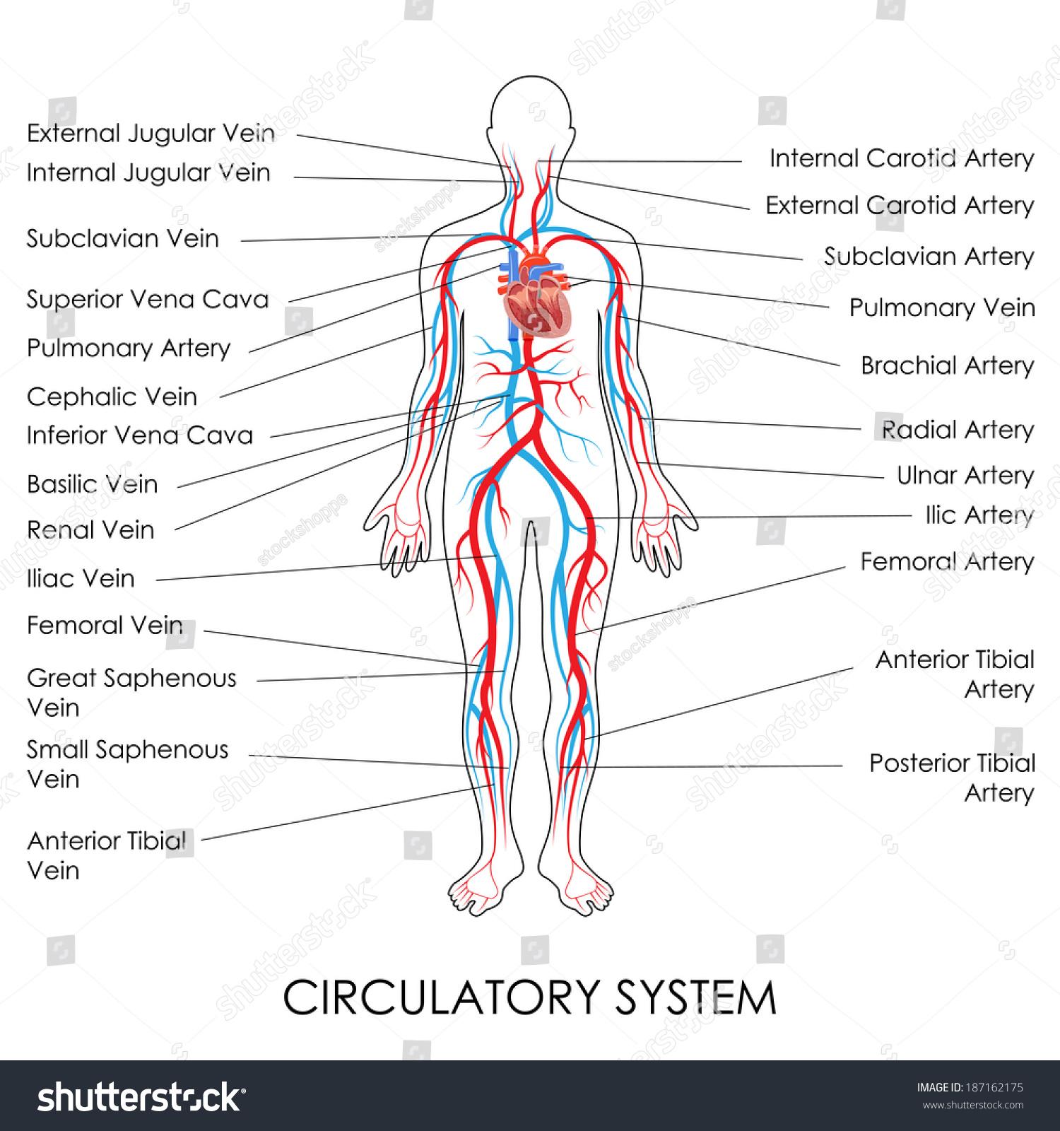 Vector Illustration Diagram Circulatory System Stock Vector Royalty