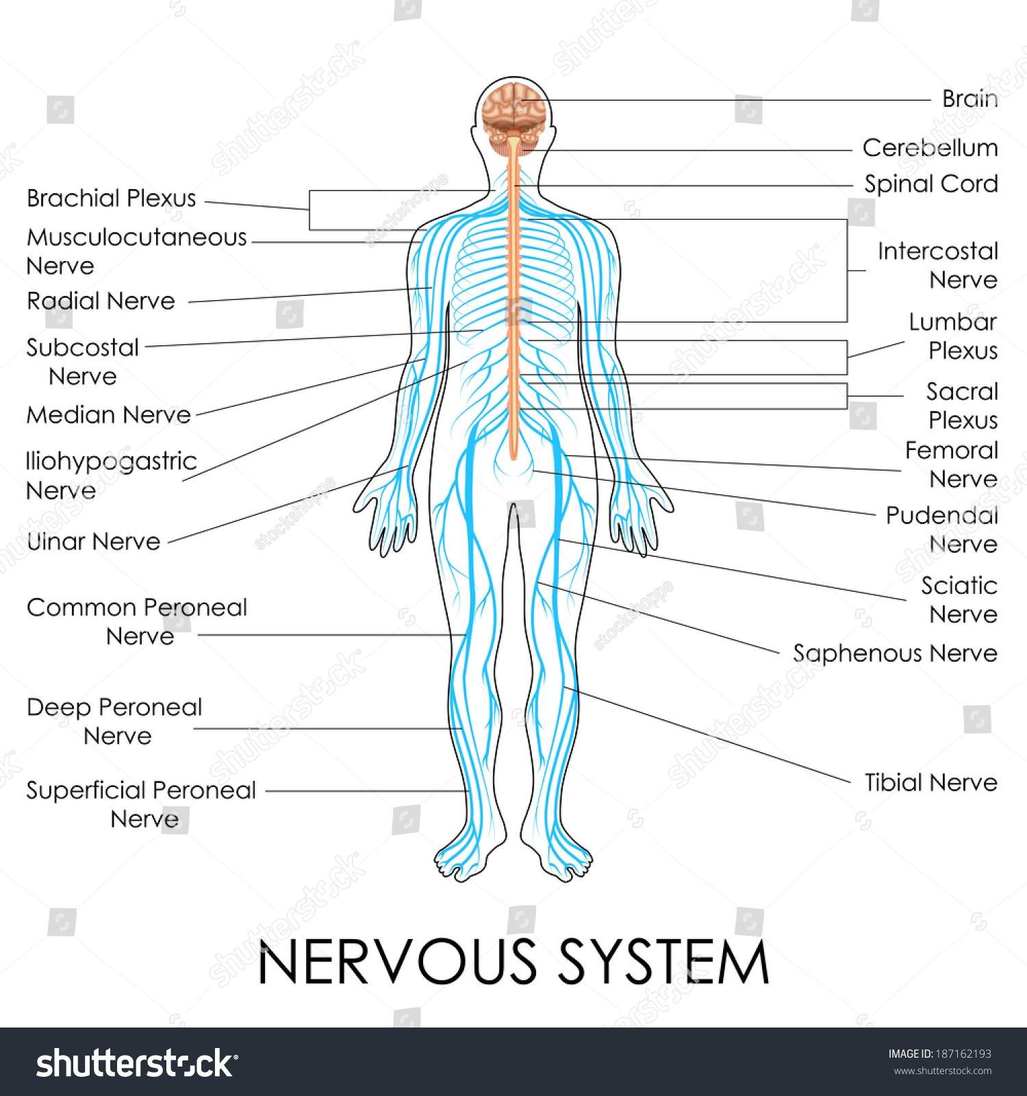 Vector Illustration Diagram Nervous System Stock Vector Royalty