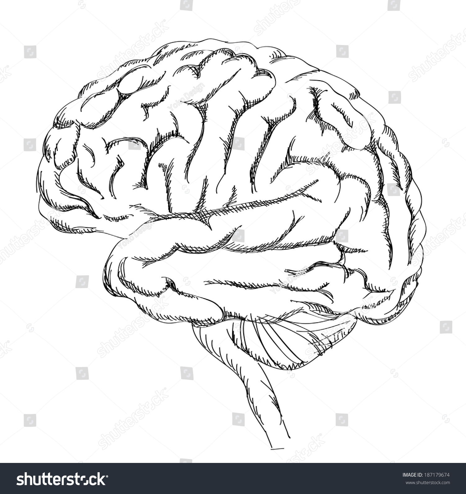 Brain Anatomy Human Brain Lateral View Stock Vector Royalty Free
