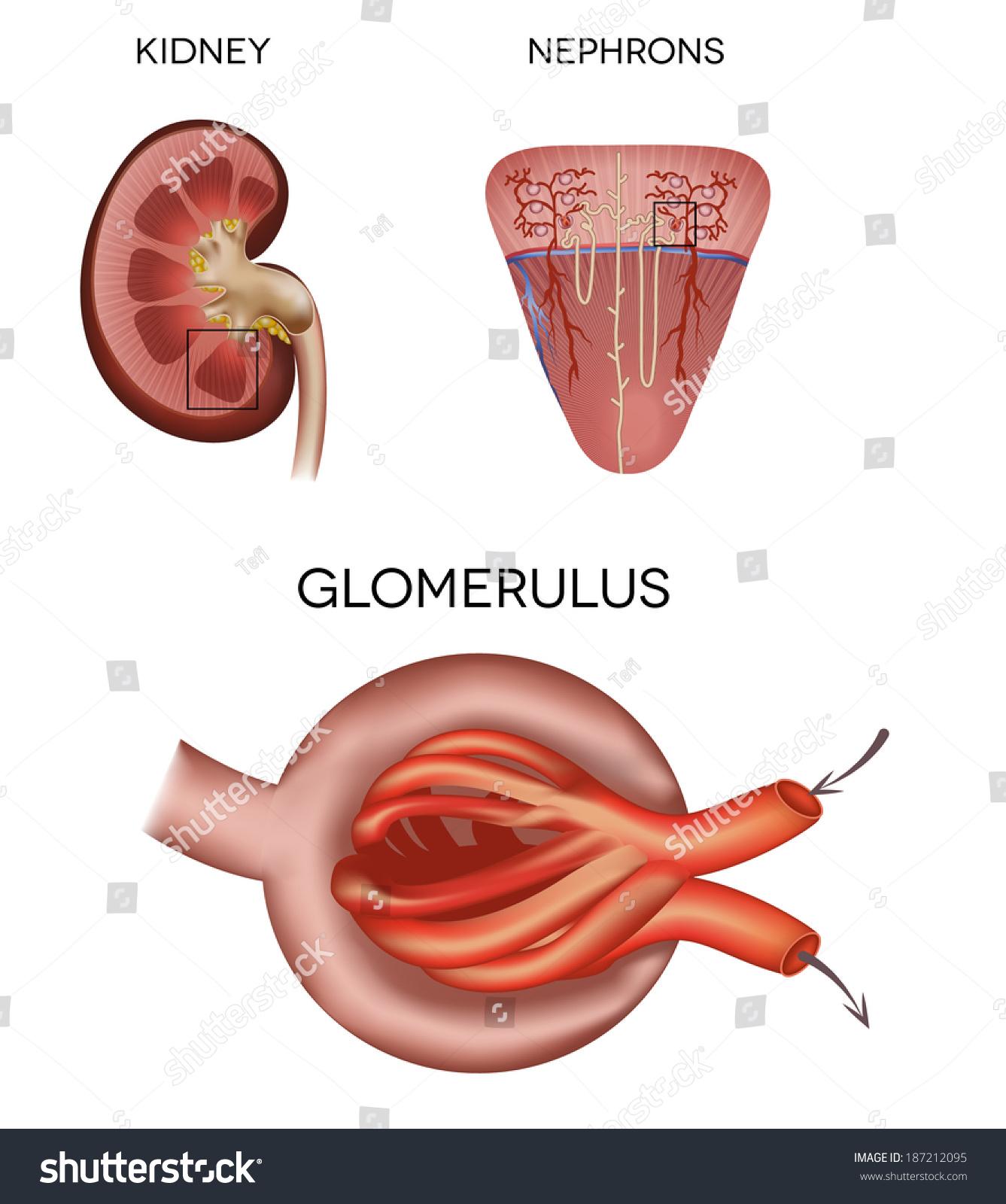 Renal Corpuscle Glomerulus Part Kidney Stock Vector Royalty Free