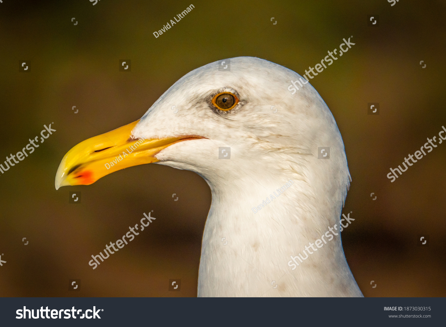 stock-photo-close-up-portrait-of-a-seagull-western-gull-larus-occidentalis-perched-on-a-rail-along-tomales-1873030315.jpg