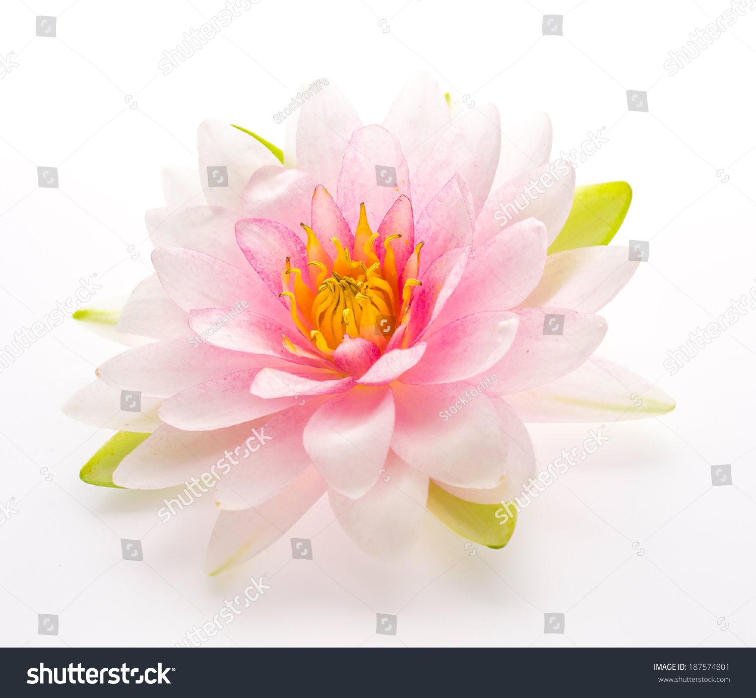 Lotus Flower Isolated White Background Stock Photo Edit Now