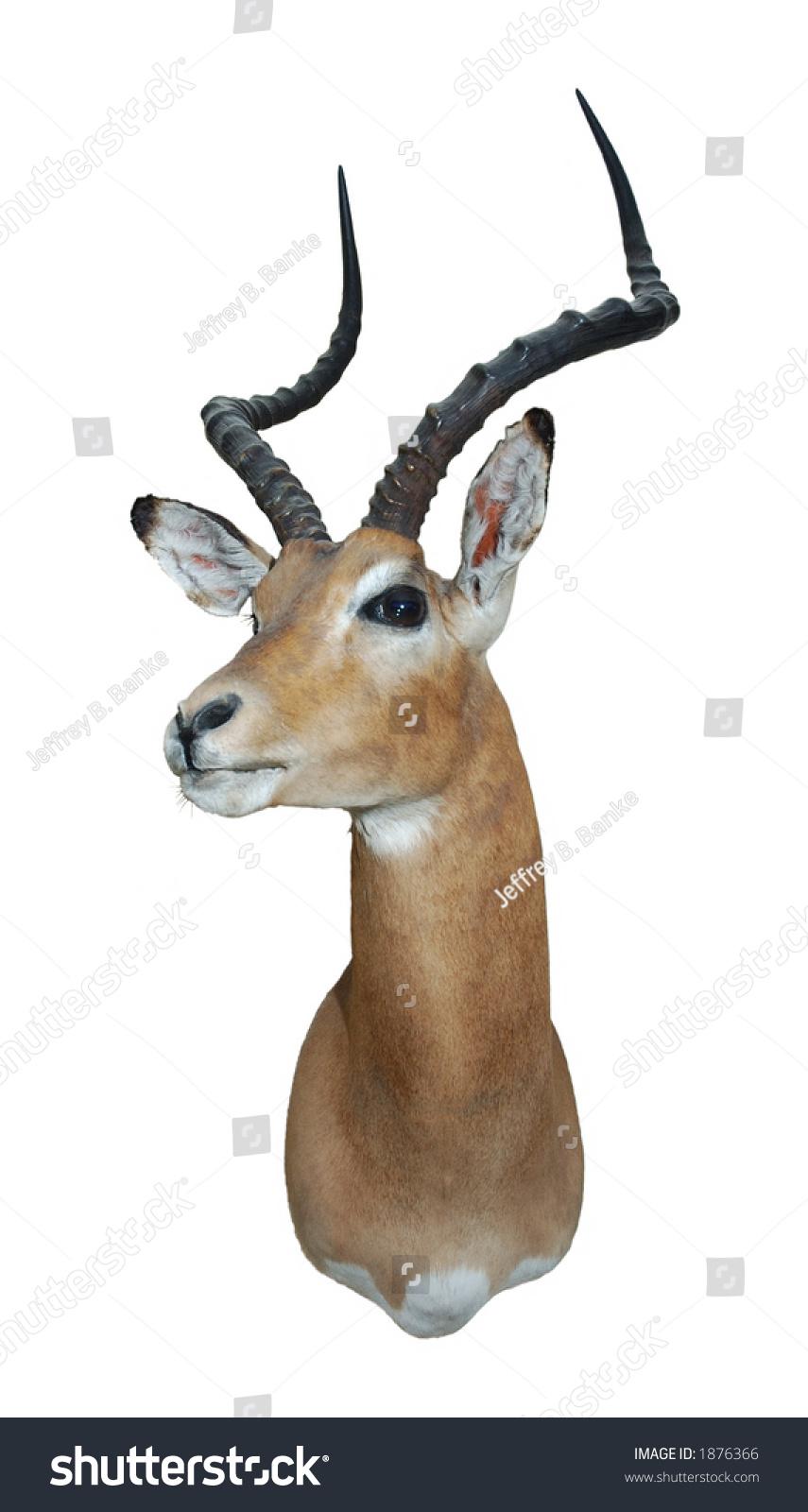 impala african antelope mount over a white background. Black Bedroom Furniture Sets. Home Design Ideas