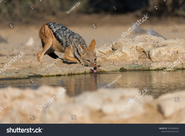 stock-photo-black-backed-jackal-canis-me