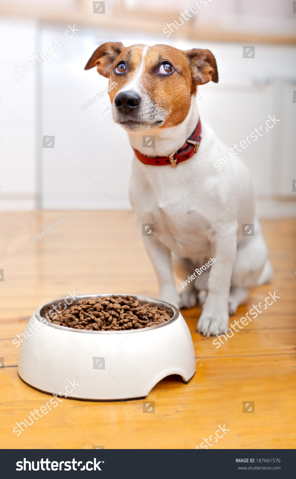 Hungry Dog Waiting Eat Out His Stock Photo 187661576