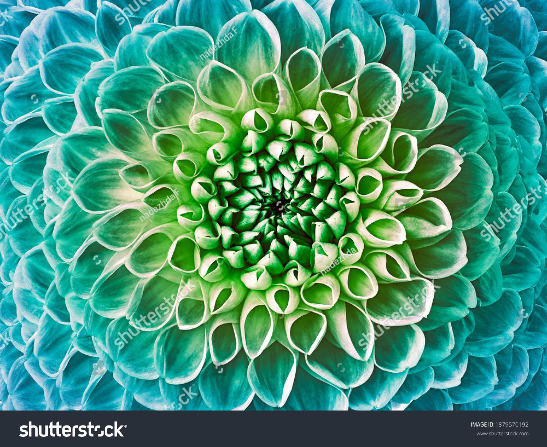 Dahlia turquoise-green flower.  Macro.  Nature. #1879570192
