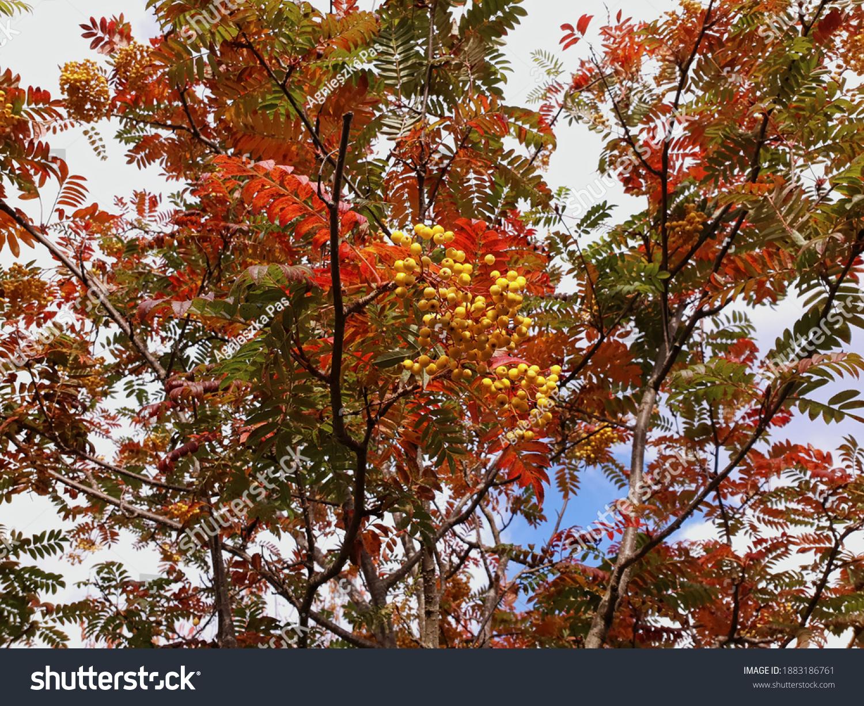 stock-photo-rowan-mountain-ash-tree-with