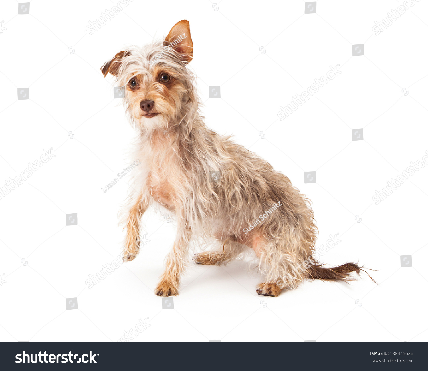 Famous Wirehaired Terrier Mix Info Image Collection - Electrical ...
