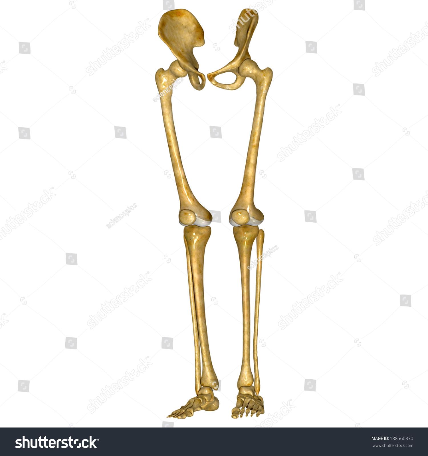 Skeleton Legs Stock Illustration 188560370 Shutterstock