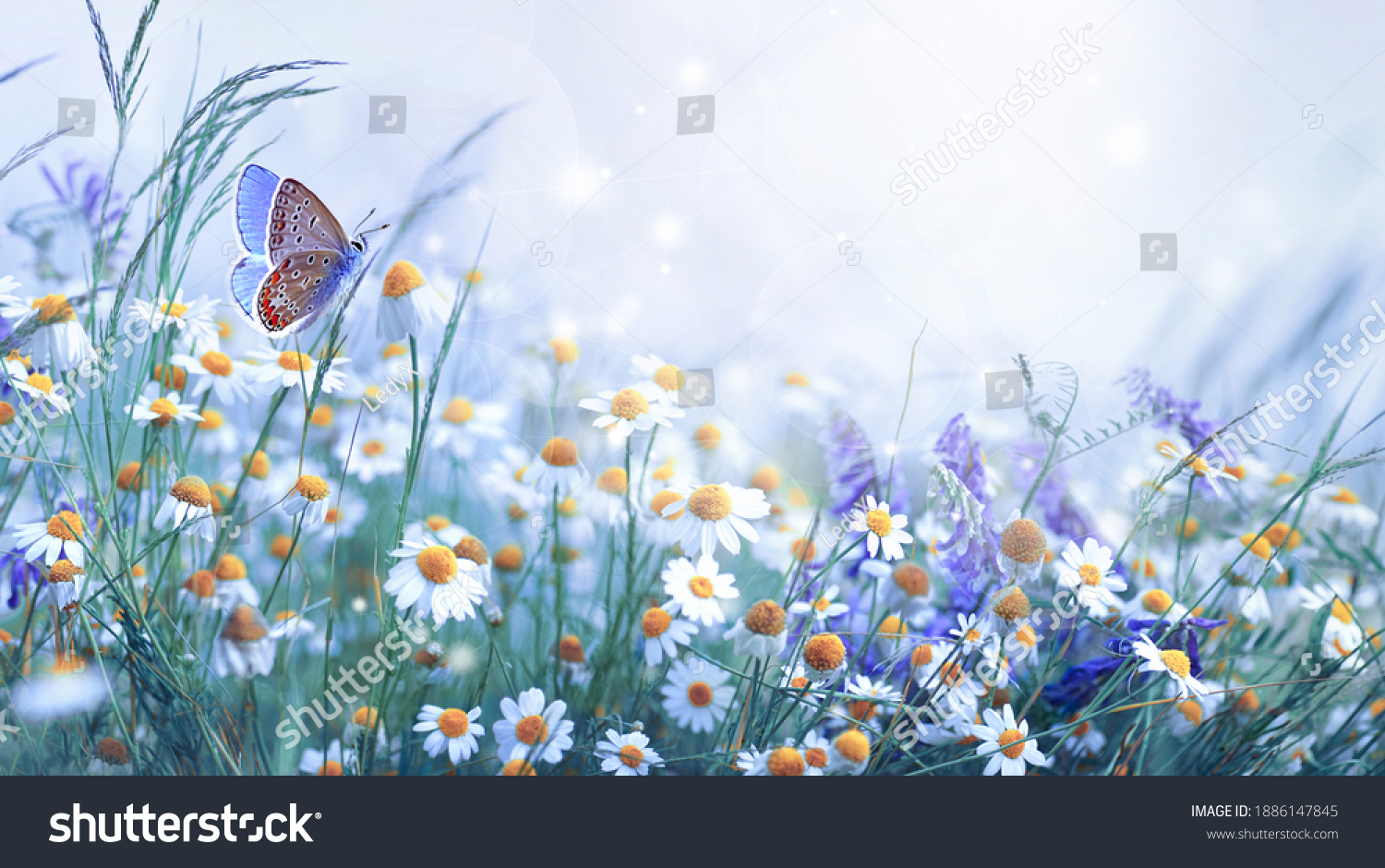 Beautiful wild flowers daisies and butterfly in morning cool haze in nature spring close-up macro. Delightful airy artistic image beauty summer nature. #1886147845