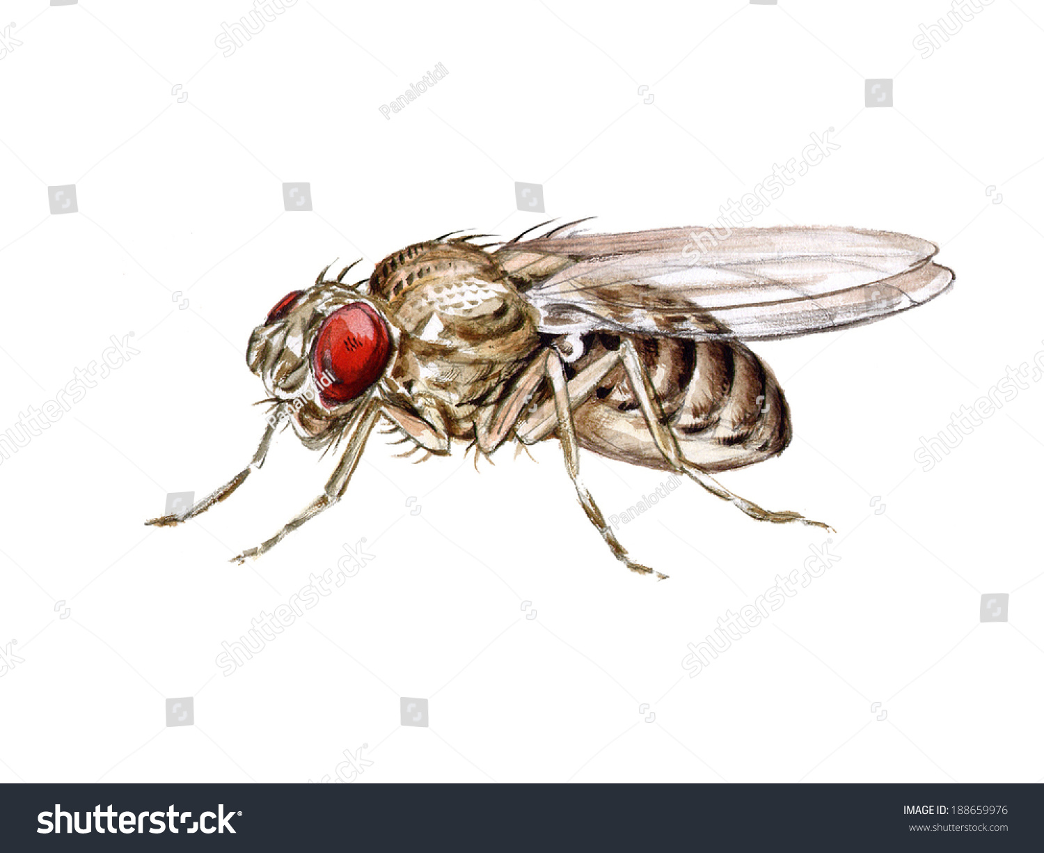 fruit fly clipart - photo #50
