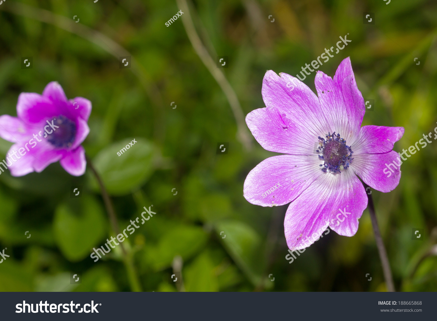 Closeup Of A Rare Beautiful Flower In The Nature Of Greek Island
