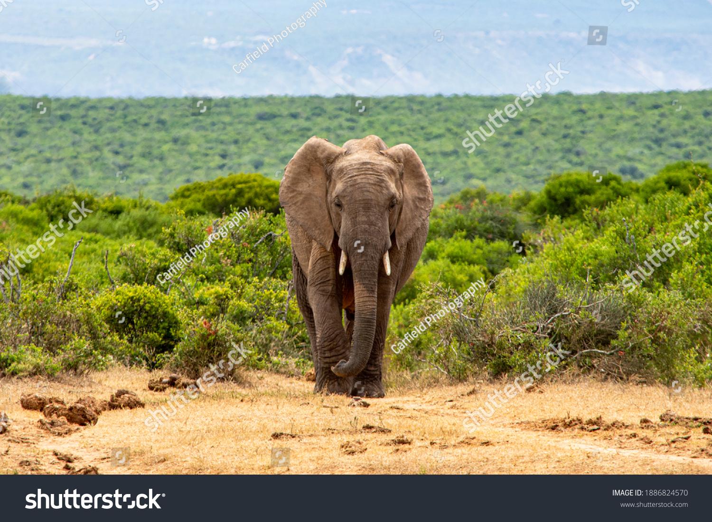 African Elephants moving through the African Savanna #1886824570