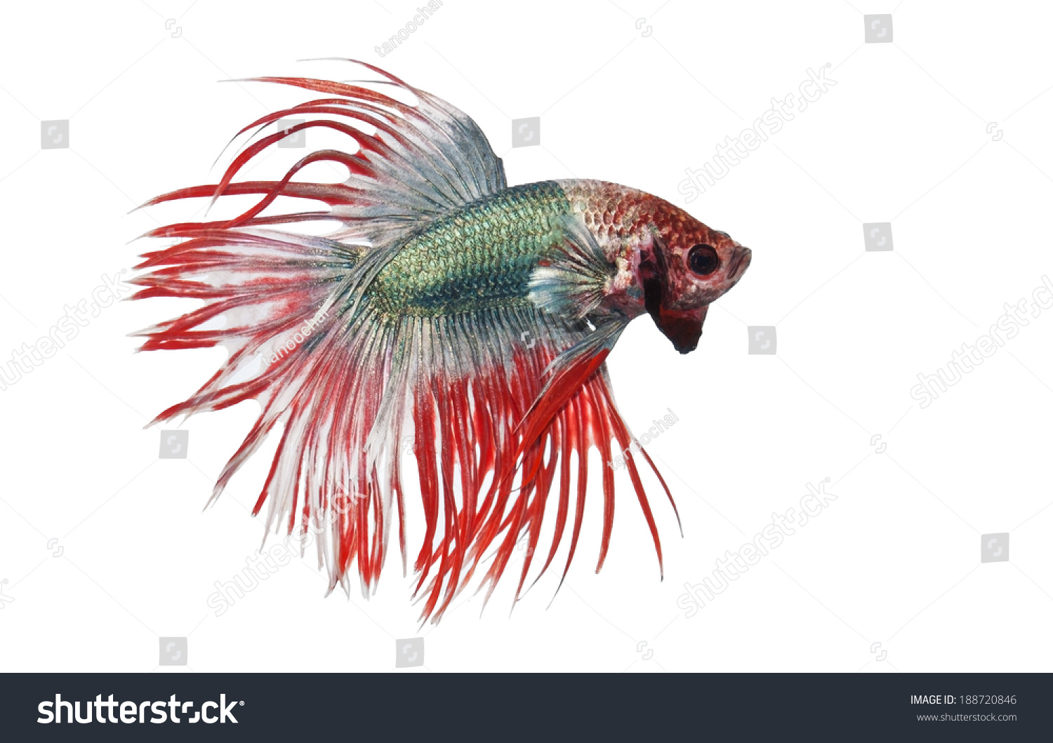 Siamese Fighting Fish Betta Splendens Crowntail Stock Photo (Royalty ...