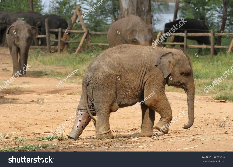 Uncategorized Elephant Information baby elephant false leg udawalawe stock photo 188725502 a with at the transit home and information centre