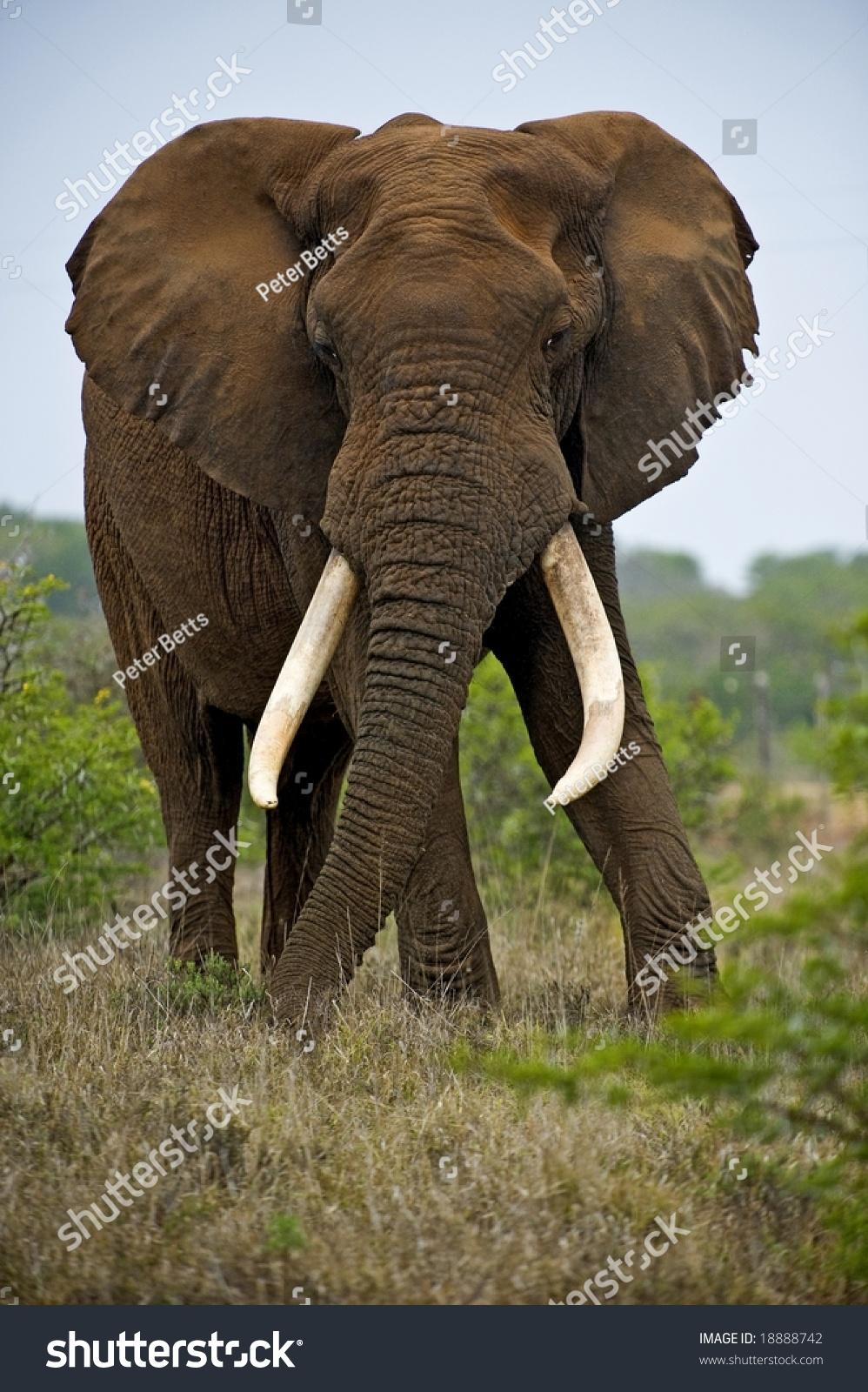 largest bull elephant addo park looks stock photo 18888742
