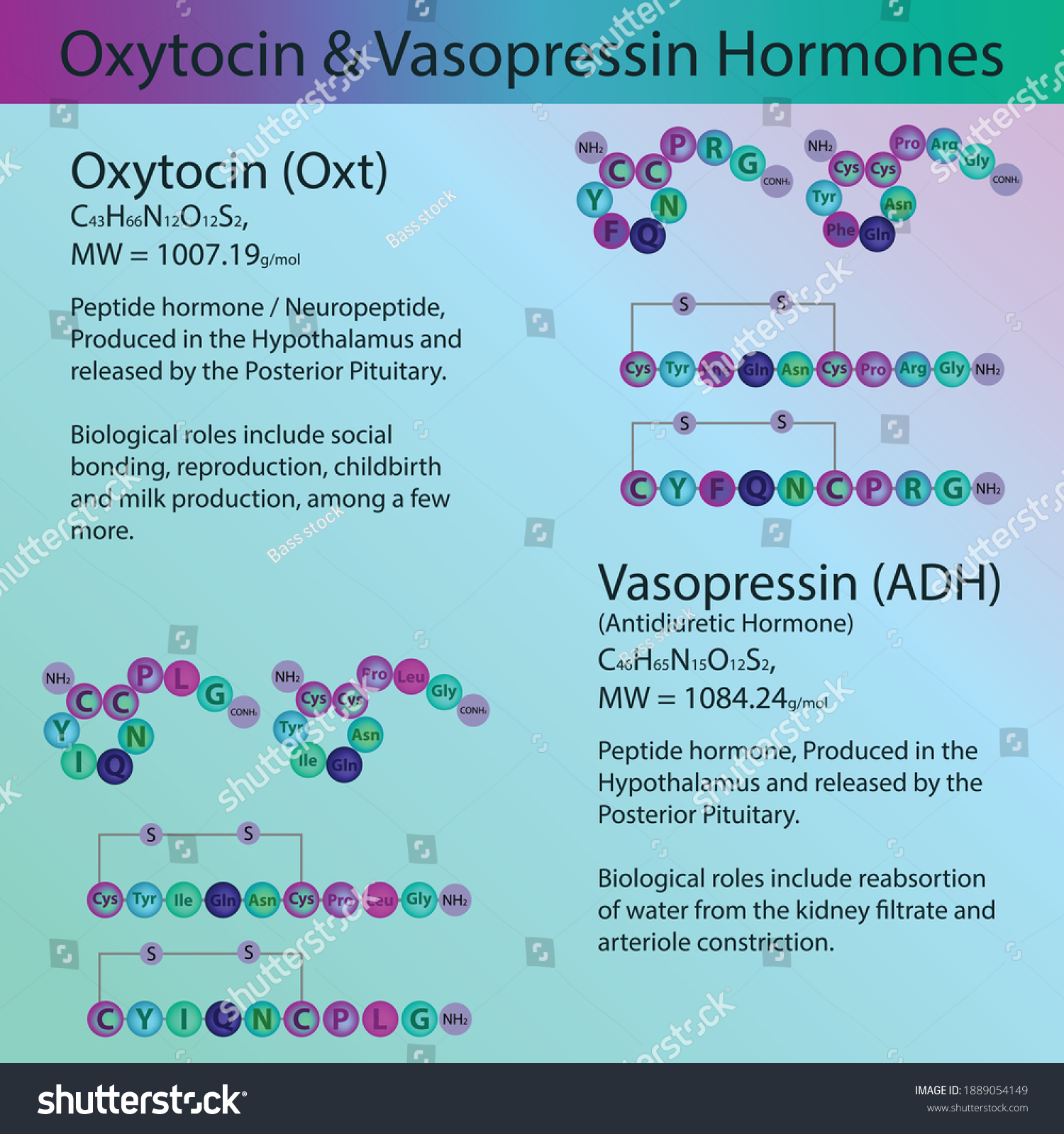 Vassopressin and Oxytocin, Posterior Pituitary Hormone peptide structure, Vector illustration educational medical information diagram. Endocrine molecule process for university, school, biochemistry