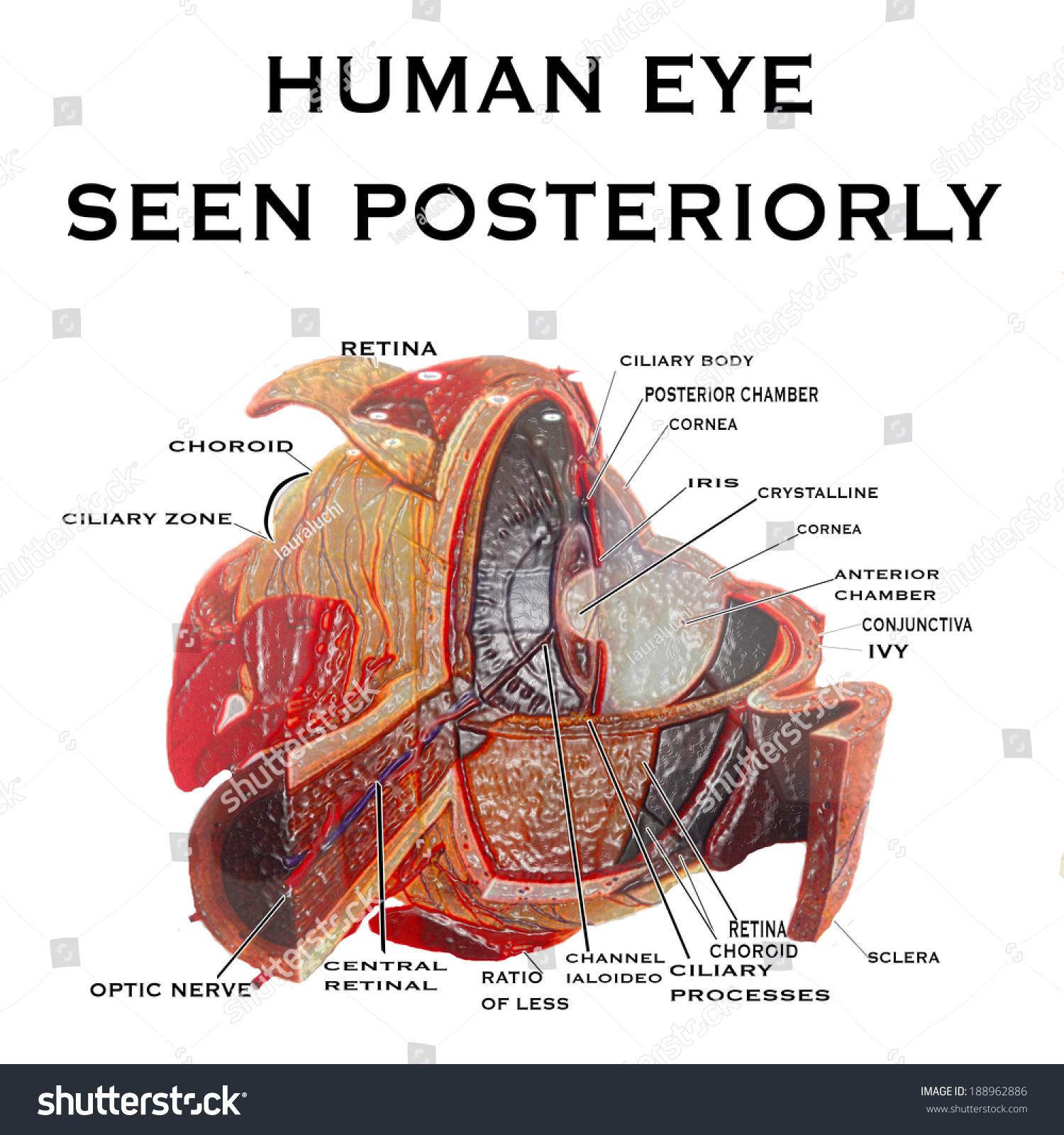 Human Eye Seen Posteriorly Background Vector Stock Vector (Royalty ...