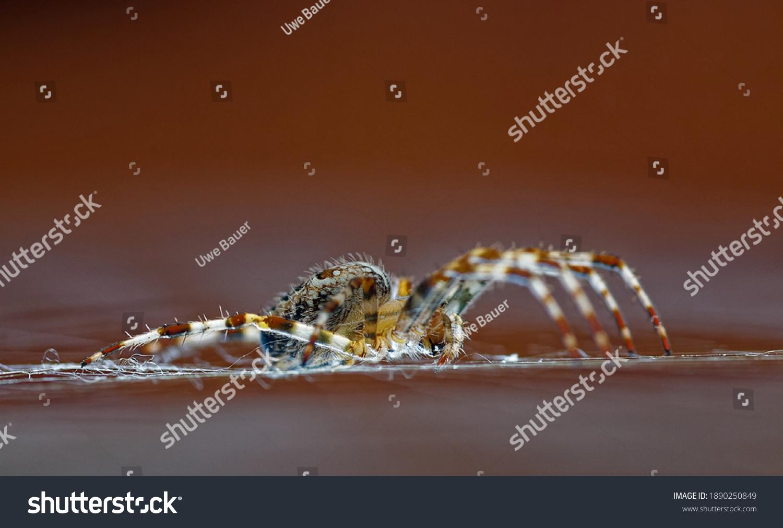 European garden spider on the net