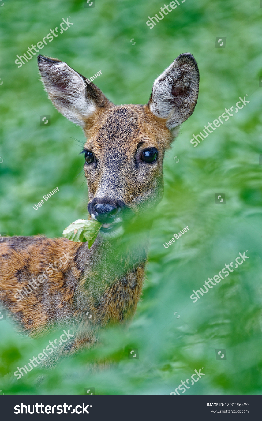 stock-photo-roe-deer-feeding-in-the-fore