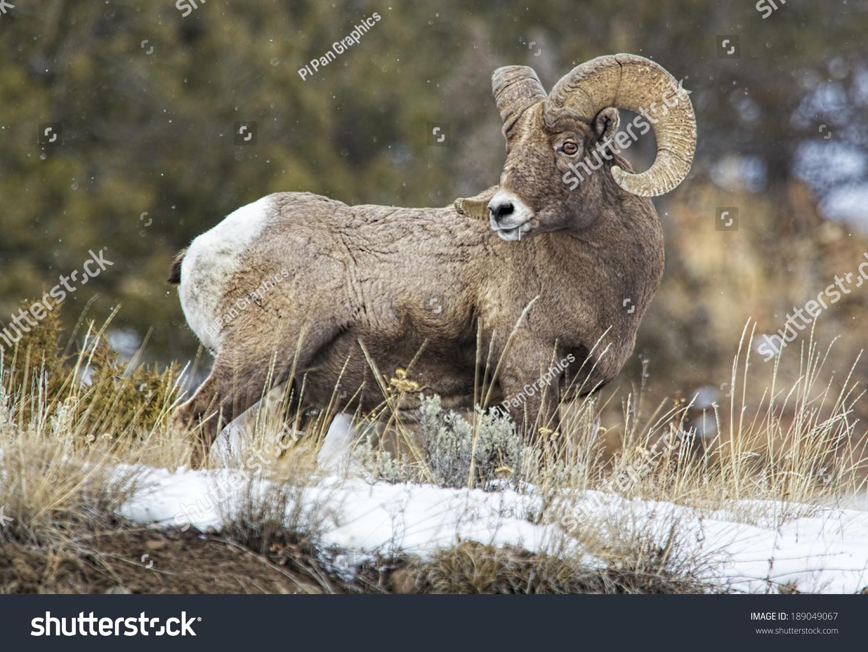 Big Horn Sheep Profile Stock Photo 189049067 - Shutterstock