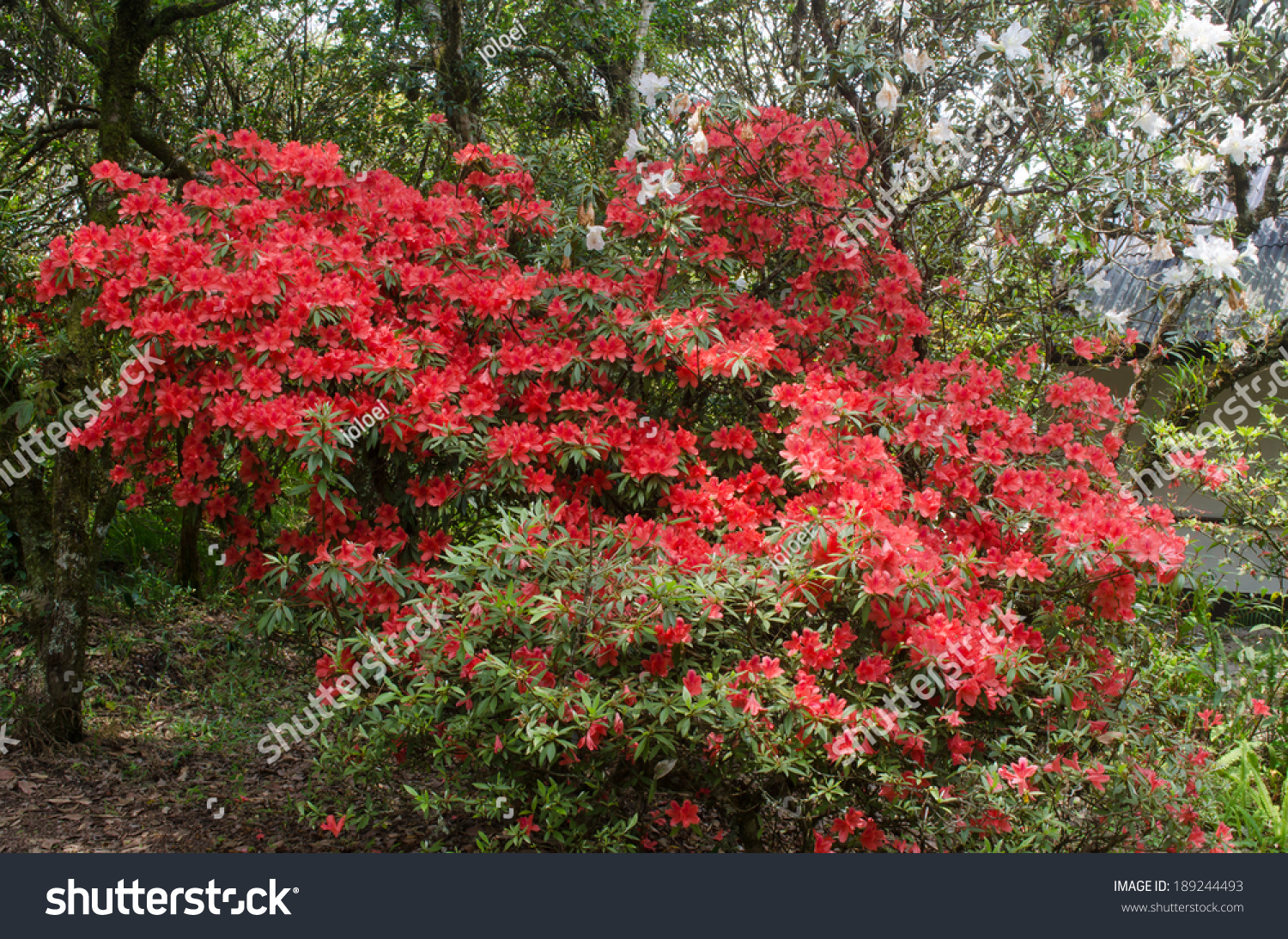 azalea blooming on tree rhododendron simsii stock photo 189244493 shutterstock. Black Bedroom Furniture Sets. Home Design Ideas