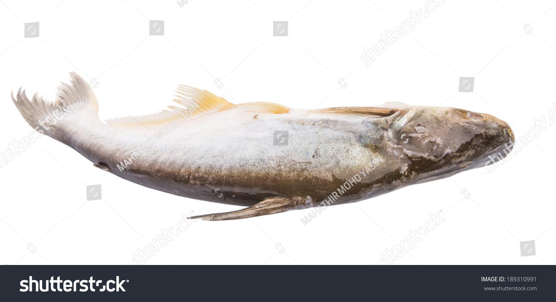 Ikan Patin Scientific Name Pangasius Sutchi Stock Photo