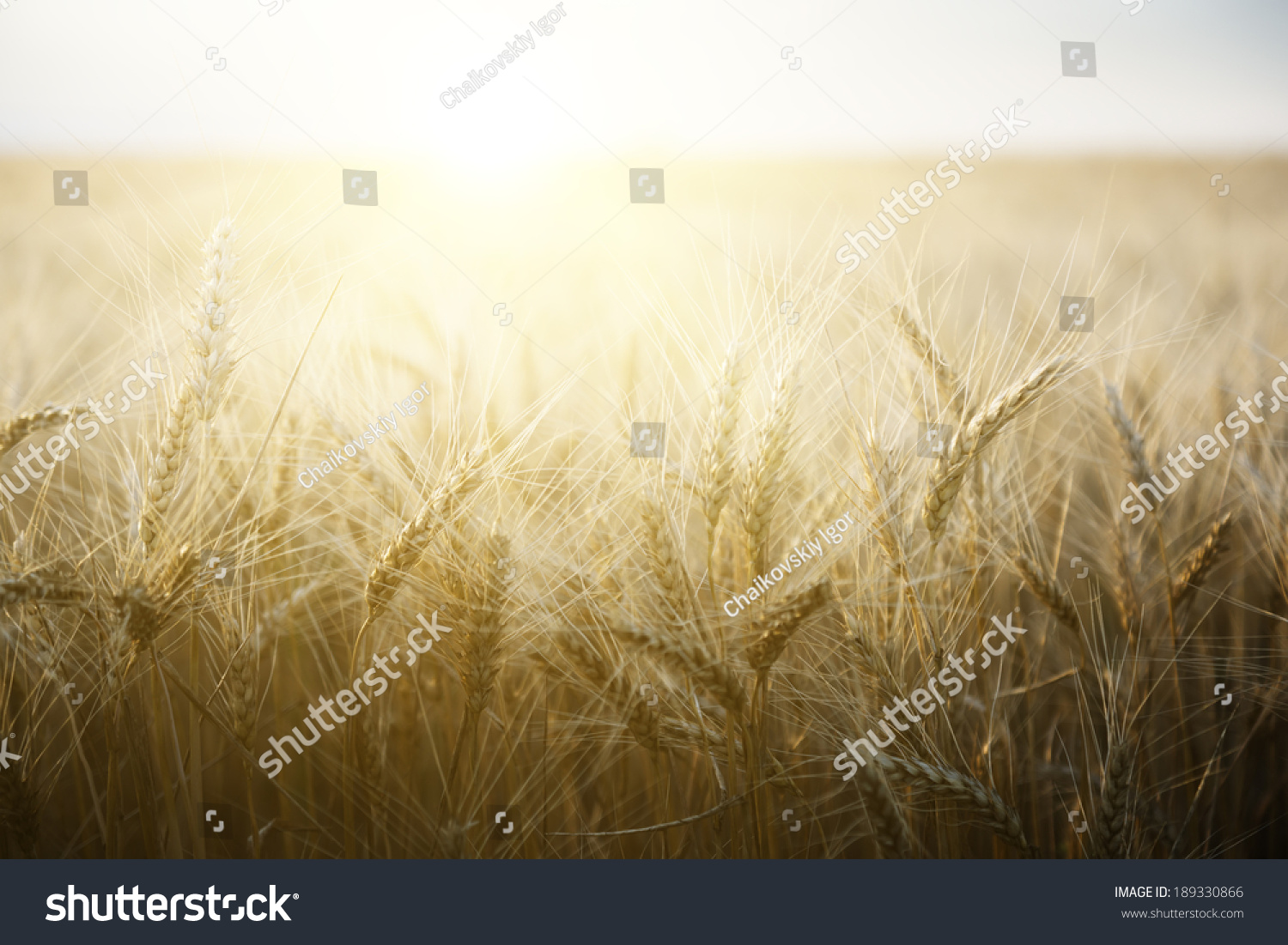 Wheat field on a Sunny day. Agriculture. #189330866