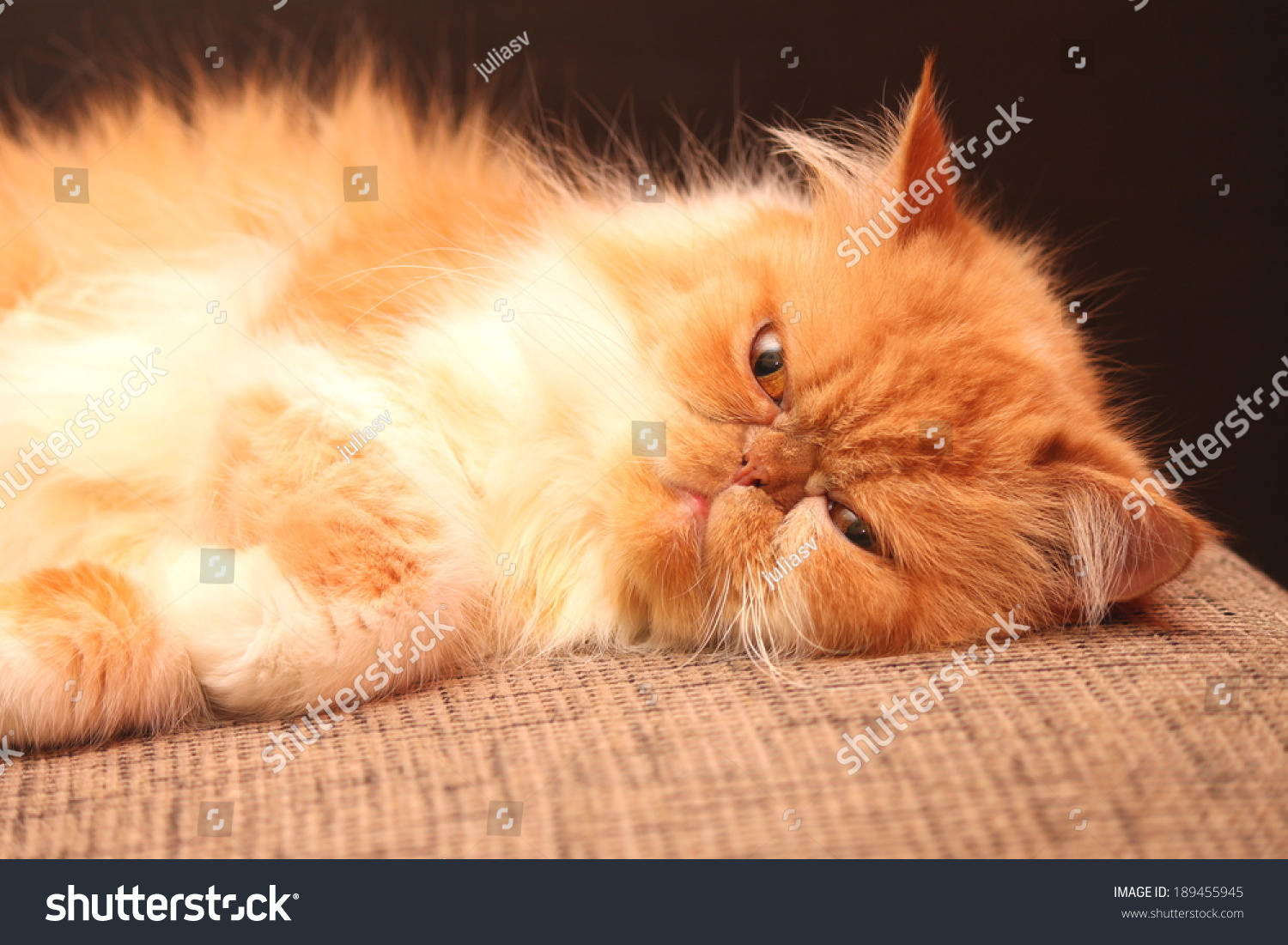 Portrait Beautiful Orange Persian Cat Stock
