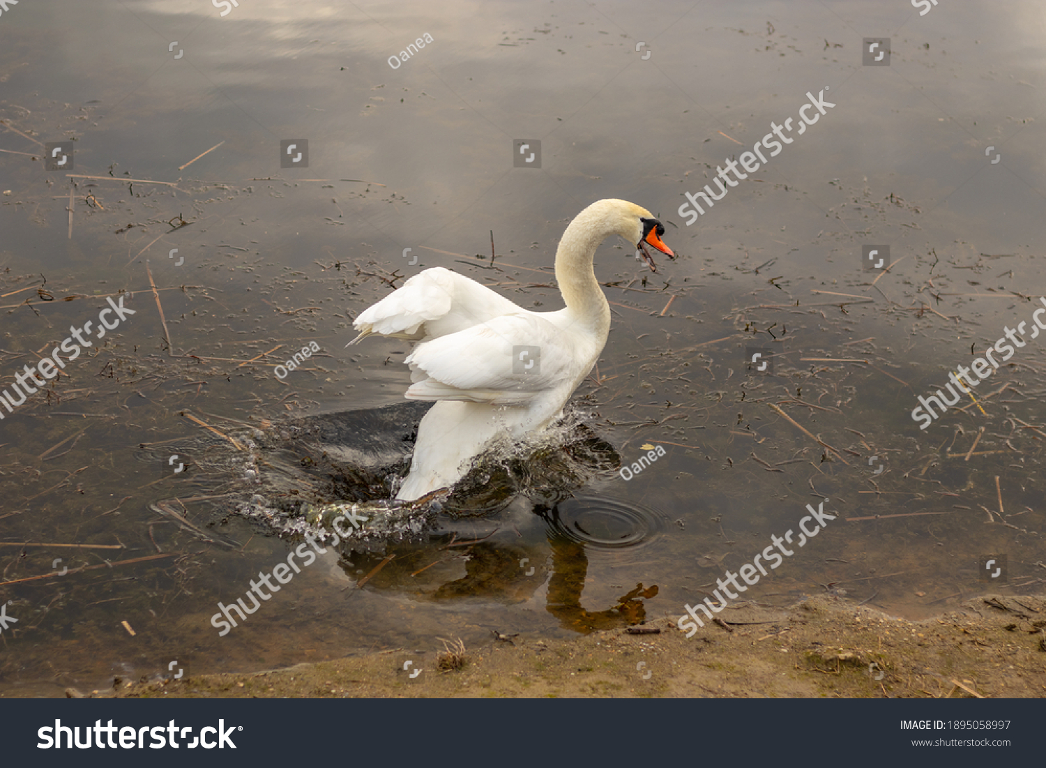stock-photo-angry-swan-jumping-on-the-wa