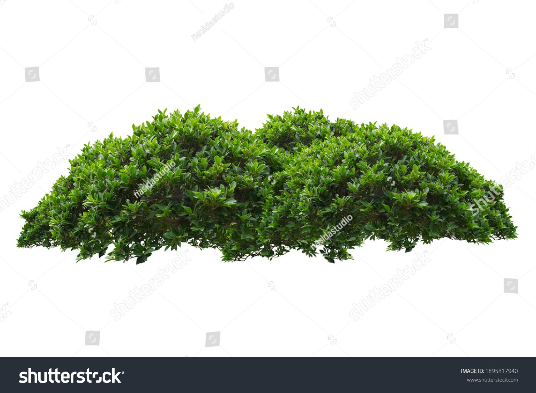 green bush isolated on white background.  #1895817940