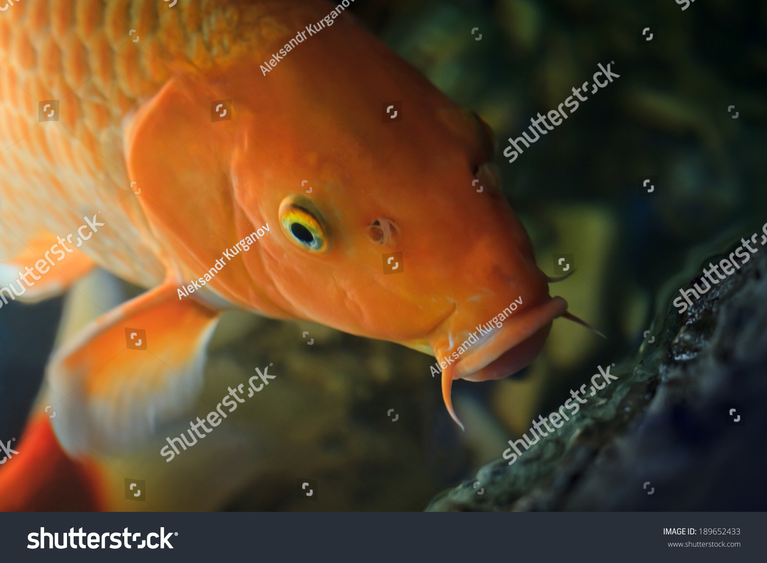 Koi fish swimming underwater cyprinus rubrofuscus stock for Koi meaning in english