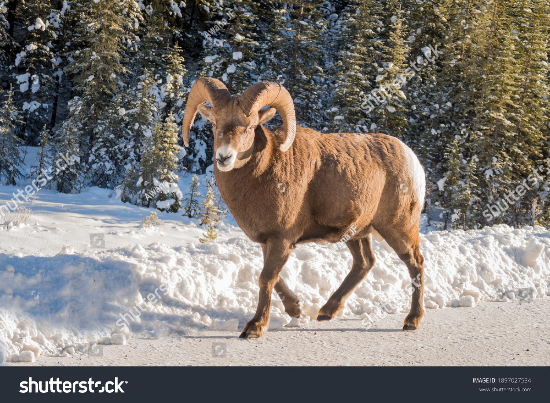 stock-photo-beautiful-bighorn-sheep-walk
